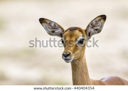 Impala in Kruger national park, South Africa ; Specie Aepyceros melampus family of bovidae - stock photo