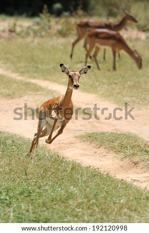 Impala in savanna. National Reserved. South Africa, Kenya - stock photo