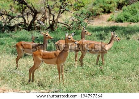 Impala in savanna. National Reserved. South Africa, Kenya - stock photo