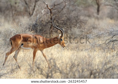 Impala in savanna. National Reserved. South Africa, Kenya
