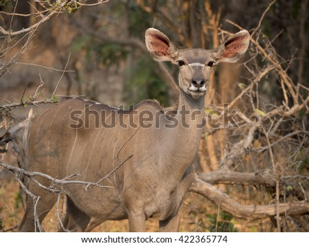 Impala in the African savannah  - stock photo