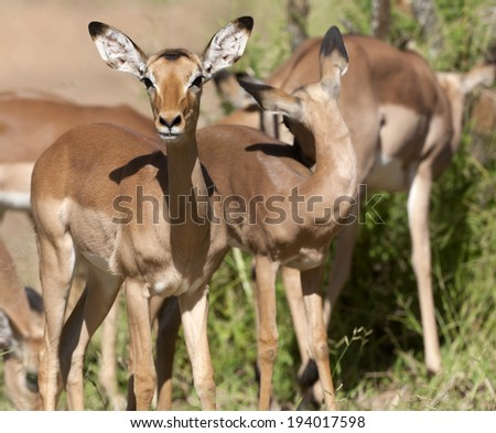 Impala in the Kruger National Park - stock photo