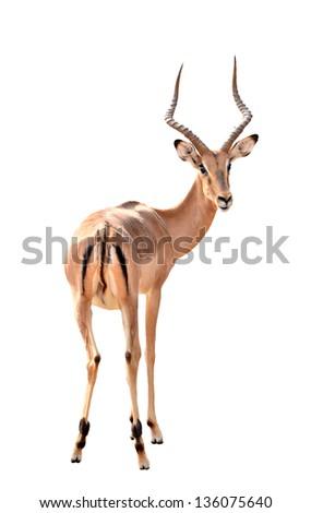 impala isolated on white background - stock photo