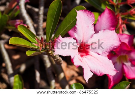 Impala Lily Adenium, Desert Rose or pink flower in Thailand.