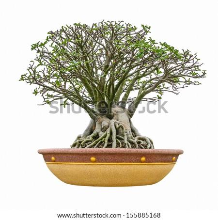 impala lily as bonsai isolated on white background - stock photo