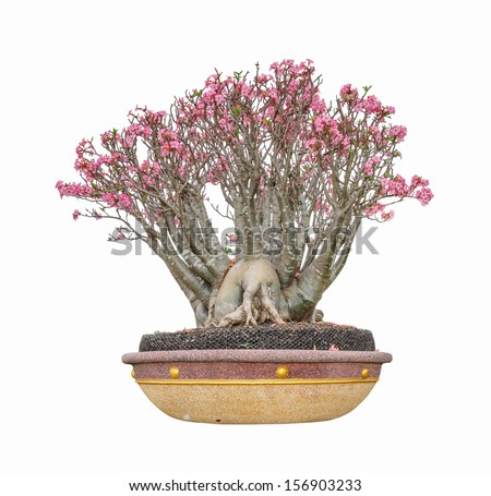 impala lily as bonsai with flowers isolated on white background