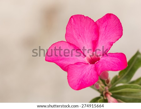 Impala Lily, Desert Rose, Mock Azalea, Pinkbignonia, Adenium flower - stock photo