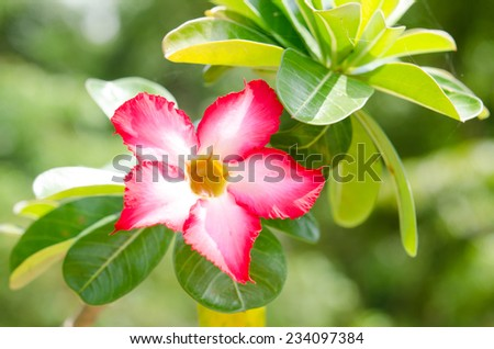 Impala lily flowers blooming