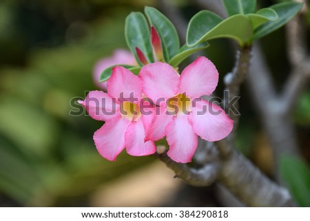 Impala Lily flowers. Impala Lily. Desert rose flower from tropical climate. Rose flower from tropical climate. Desert Rose. Mock Azalea. Pinkbignonia. Adenium