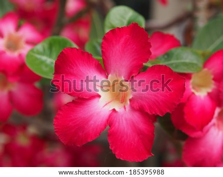 Impala lily flowers on tree