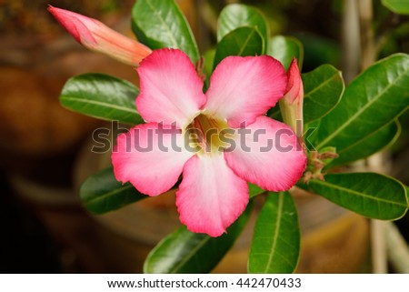 Impala Lily or desert rose Photography