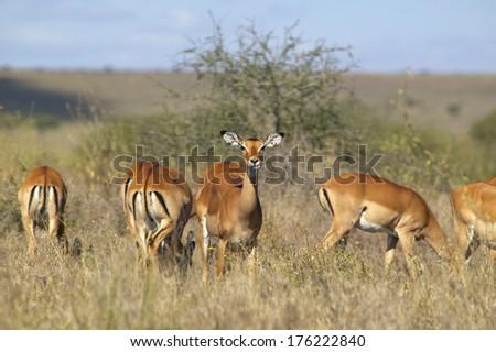 Impala looking into camera at Nairobi National Park, Nairobi, Kenya, Africa - stock photo