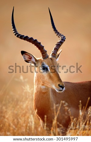 Impala male (Aepyceros melampus) portrait close-up - Kruger National park (South Africa)