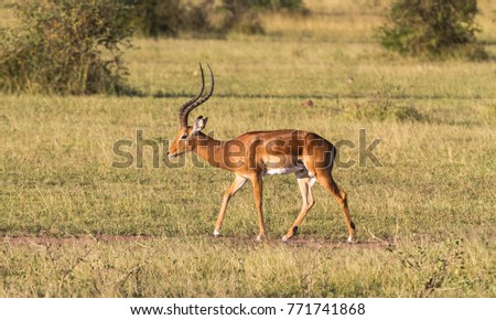 Impala male close up. Bush of Serengeti, Africa
