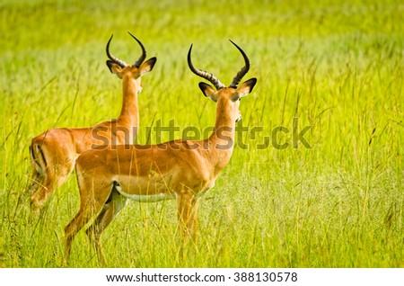 Impala on plain, Masai Mara National Reserve, Kenya - stock photo