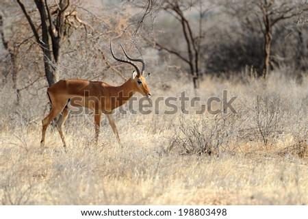 Impala on savanna in Africa, Kenya - stock photo