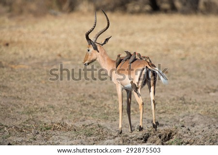 Impala ram drink water from a pond with risk of crocodile