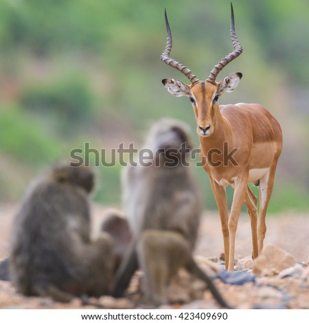 Impala ram walking in dry riverbed while two baboons are grooming, Kruger National Park - stock photo