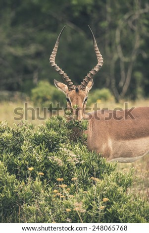 Impala standing behind bush. Game reserve. Mpongo. South Africa. - stock photo