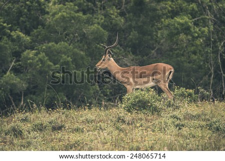 Impala standing in field of grass. Game reserve. Mpongo. South Africa.