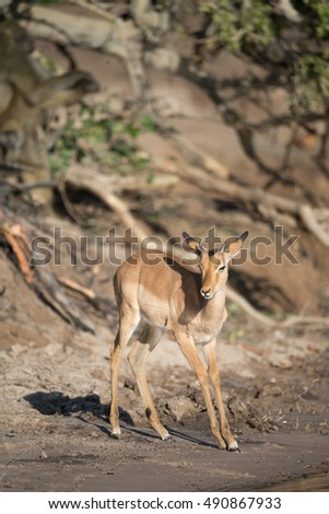 Impala standing near the Chobe River in Botswana Africa