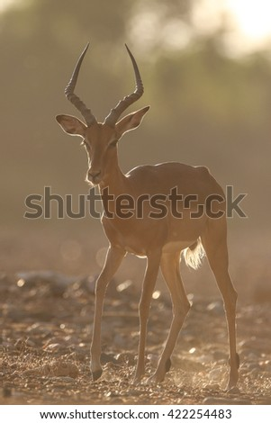 Impala walking in dusty riverbed at sunset, Kruger National Park