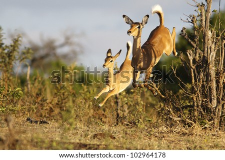 impalas running - stock photo