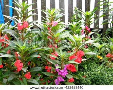 Impatiens balsamina. Garden plants, flower bed - stock photo
