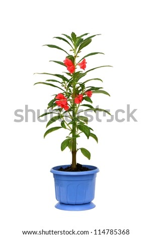 Impatiens balsamina. Window plant in a pot - stock photo
