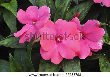Impatiens flowers - stock photo