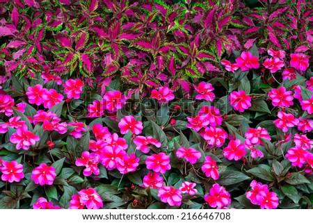 Impatiens hawkeri (New Guinea impatiens) flowers in front of coleus plants - stock photo