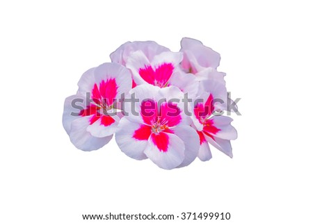 Impatiens walleriana white and pink flowers on white background. - stock photo
