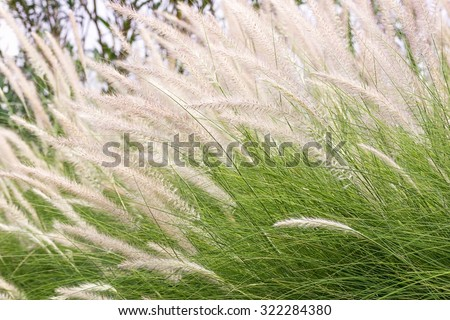 Imperata cylindrica Beauv of Feather grass in nature - stock photo