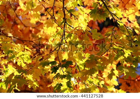 Impression of leaves and autumn colors. Gollden maple trees full frame - stock photo