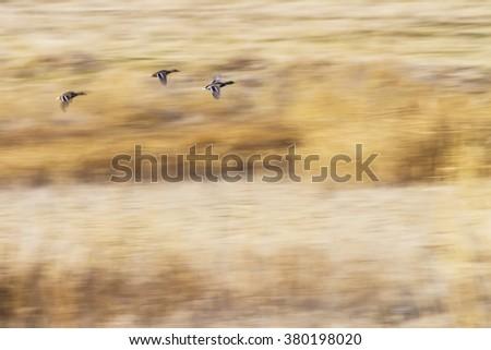 impressionism and birds   flying ducks yellow reeds background Mallard / Anas platyrhynchos - stock photo