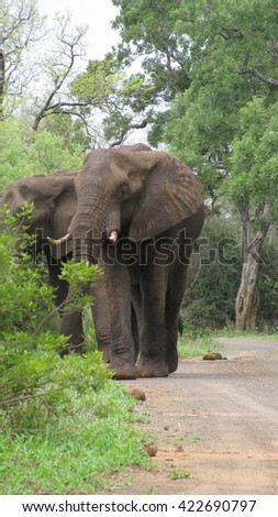 Impressive African Elephant grazing in the Kruger National Park