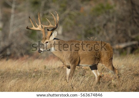 impressive whitetail deer buck in profile during rut in profile with perfect sun rise & Impressive Whitetail Deer Buck Profile During Stock Photo (Royalty ...