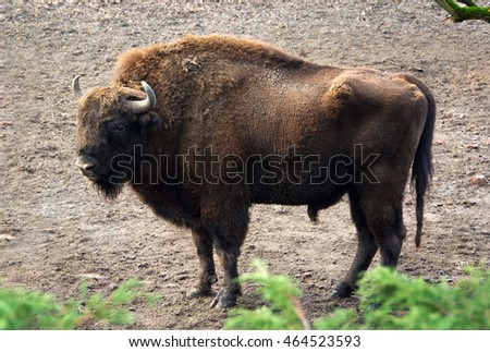 In a forest. Wildlife of Natural Reserve. Amazing photo of a huge powerful bison. Wonderful big animals close up. Wild nature in National Parks. Bison is a symbol of strength, courage, leadership