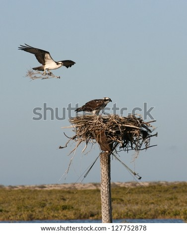in a lagoon bird sanctuary in Baja,Mexico, a male Osprey or sea  eagle brings nesting twigs to his mate in their nest - stock photo