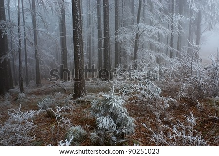 In frosty pine - wood with fog in backcloth - stock photo