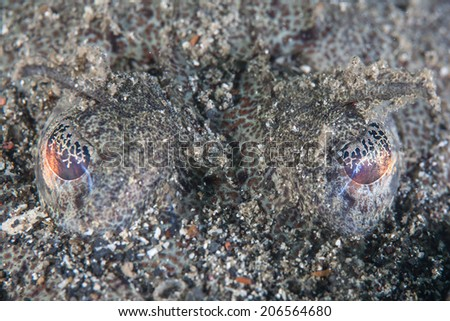 In Indonesia, the eyes of a well-camouflaged flathead fish, an ambush predator, sit above the sand in order to view potential prey fish and invertebrates that swim by. - stock photo