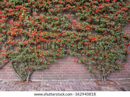In late summer in Northern Europe, red blooms linger on plants growing against a brick wall - stock photo