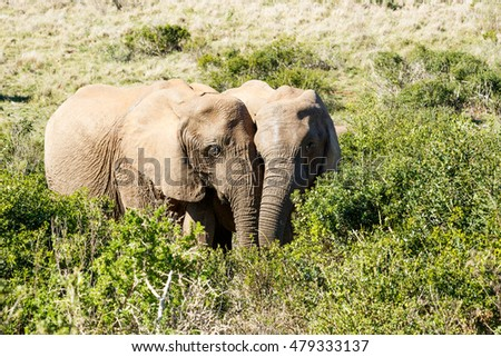 In Love Male and Female - The African bush elephant is the larger of the two species of African elephant. Both it and the African forest elephant have in the past been classified as a single species.