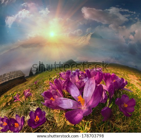 In May, the snow melts and the mountains are covered by a beautiful carpet of flowers. Light of dawn harbor flower meadow misty veil, creating a mood of magic and the mystery. - stock photo