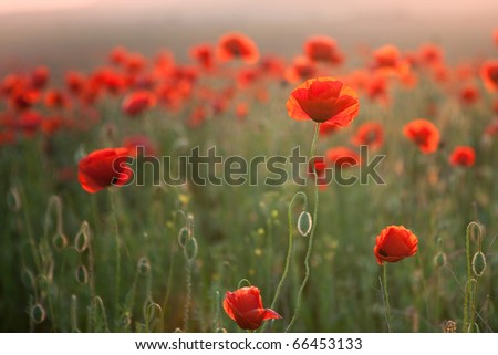 In poppies field - stock photo