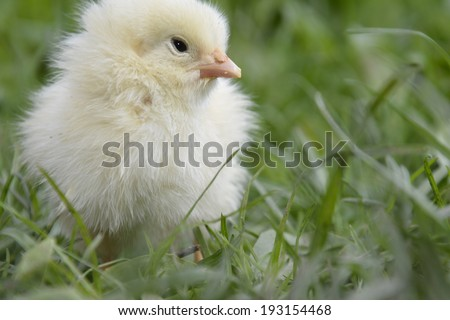 In summer, the grass stands yellow chicken.
