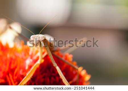 In Thailand there is a large praying mantis on a red flower - stock photo