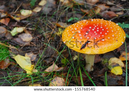 In the autumn forest Amanita growing under a pine tree.