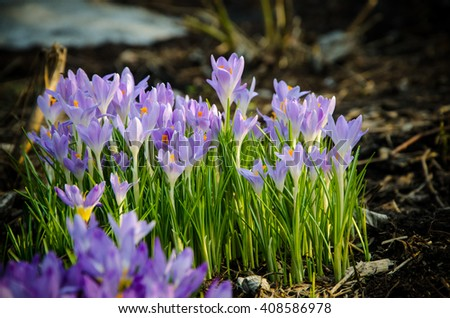 in the background crocus flowers bloom young  - stock photo