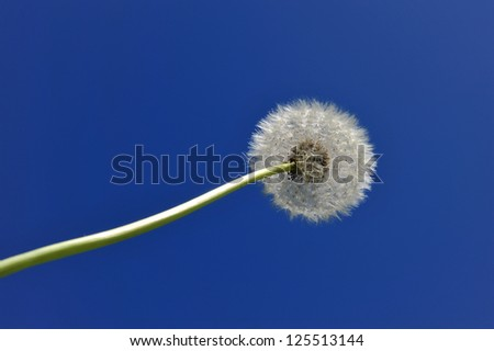 In The Deep Blue Sky A Dandelion Flower - stock photo